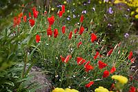 Red flower California poppy Eschscholzia californica 'Red Chief' in Kyte California native plant garden
