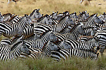 Part of a herd numbering in the hundreds, Burchell's zebras approach the crocodile-filled Mara River.