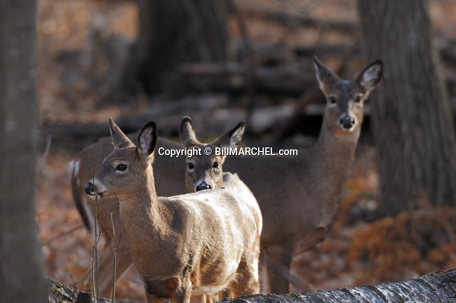 00275-195.03 White-tailed Deer (DIGITAL) doe and two fawns are in hardwood forest during fall.  Oak, aspen, hunting.  H4E1