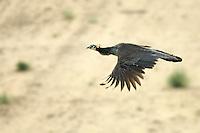Wild Peacock in flight the Thar Desert, near Jaisalmer, Rajasthan India