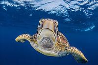 green sea turtle, Chelonia mydas, Apo Island, Philippines, Pacific Ocean