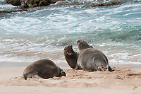 Hawaiian monk seals, Neomonachus schauinslandi, dominant male (center) moves to drive subordinate male (closest to water) away from female (left); Critically Endangered endemic species, west end of Molokai, USA, Pacific Ocean