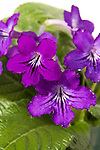 STREPTOCARPUS 'CAPE COOL BURGUNDY SHADES', CAPE PRIMROSE