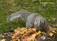 MA23-542z  Gray squirrel eating pumpkin fruit and seeds, Sciurus carolinensis