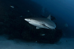 Caribbean Reef shark sunball, Cuba Underwater, Jardines de la Reina, Carcharhinus perezii