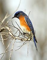Adult male eastern bluebird