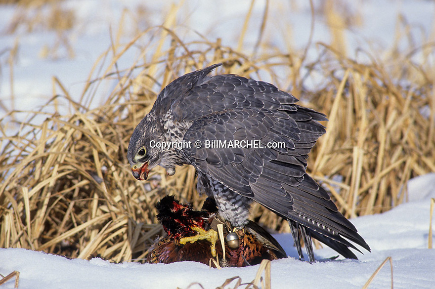 Falconry 00432-00720 A gyrfalcon has captured a rooster pheasant and has started to eat.  Hunt, snow, cold, hawking, bell.