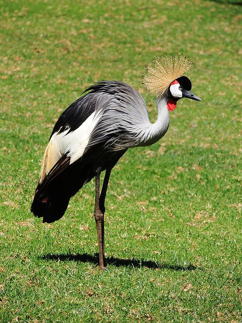 Gray Crowned Crane, Mt. Kenya Safari Club