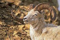 Dall sheep ram, Alaska mountain range, Denali National Park, Alaska.
