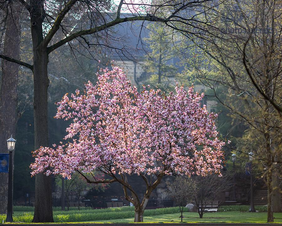 April 28, 2020; Magnolia tree near the Grotto (Photo by Matt Cashore/University of Notre Dame)