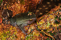 Lesser Sticky frog Kalophrynus subterrestris guarding egg clutch in tree buttress root cavity filled with rainwater, Danum Valley, Sabah, Borneo, Malaysia