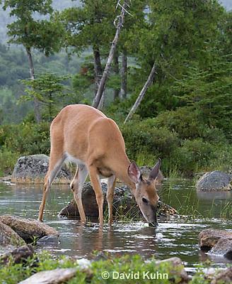 0623-1025  Northern (Woodland) White-tailed Deer Drinking Water, Odocoileus virginianus borealis  © David Kuhn/Dwight Kuhn Photography
