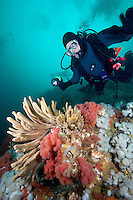 Scuba divers, Finger Sponge and Soft Corals underwater in Browning Pass, Queen Charlotte Strait, off Northern Vancouver Island, British Columbia, Canada.