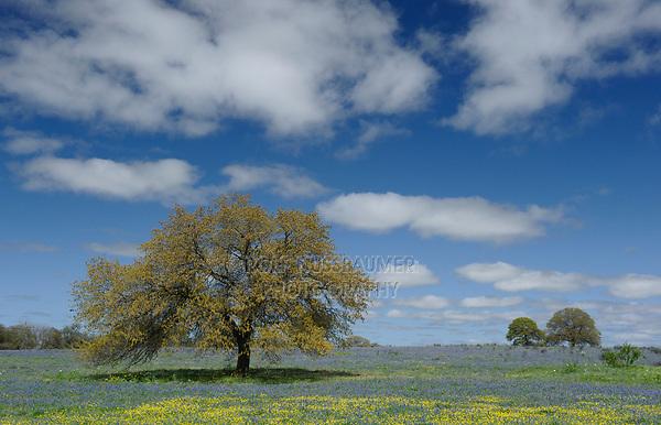 Sandyland bluebonnet (Lupinus subcarnosus), mixed wildflower field with trees, Natalia, Texas, USA