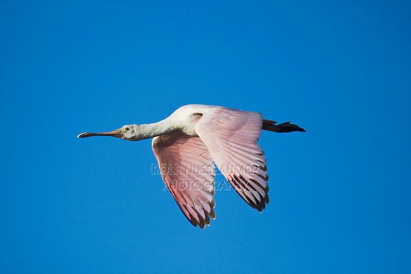 Roseate Spoonbill (Ajaia ajaja), immature in flight, Sinton, Corpus Christi, Coastal Bend, Texas, USA