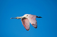 Roseate Spoonbill (Ajaia ajaja), immature in flight, Sinton, Corpus Christi, Coastal Bend, Texas, USA