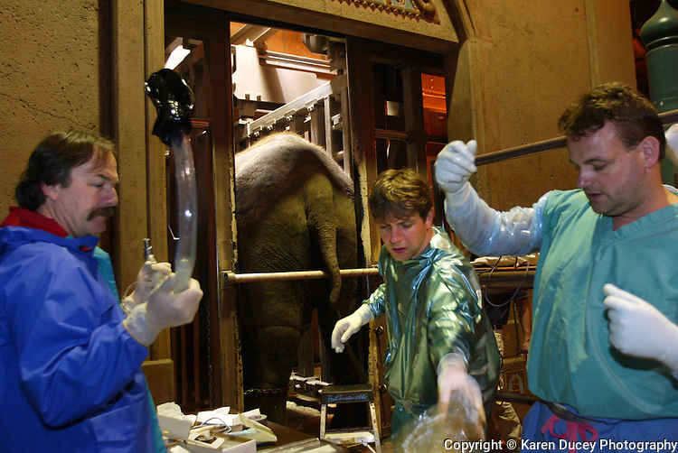 On February 28, 2005 in Seattle,WA. at the Woodland Park Zoo German scientists Thomas Hildebrandt (center), head of reproduction management at the Institute for Zoo and Wildlife Research and Frank Goeritz (right), Senior veternarian also from IZW, prepare to give Chai, an elephant, artificial insemination.  They were assisted by Pat Maluy, the lead elephant keeper at the Woodland Park Zoo, who is holding the endoscope used to visualize the elephant's passageway.  The elephant, whose legs are chained, continues to be artificially inseminated every month to this day.