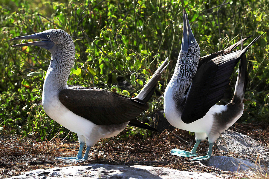 A male blue-footed booby tries to catch the attention of his female partner by performing a courtship ritual on Espanola Island in the Galaogos. Apparently, the name ìboobyî comes from the Spanish word ìboboî which means ìclownî or ìfoolî or ístupidî. They earned this name because of their clumsy movements on land. Famous for their mating dance, the male booby will spread his wings and lift his blue feet high off the ground to impress his female partner with whom he mates for life.