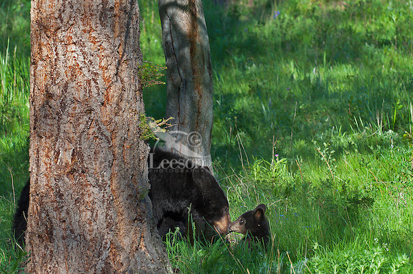 """Wild Black Bear (Ursus americanus) mother with cub.  Western U.S., spring. (This is what is known as a """"coy""""--cub of the year.)"""