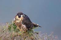 527950045 a wild federally endangered juvenile peregrine falcon falco peregrinus perches on a cliff face along the pacific ocean at torrey pines state preserve la jolla california