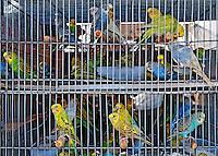 Animais. Aves. Passaros. Periquitos em gaiola. PA. Foto de Luiz Achutti.
