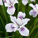 Iris 'Broadleigh Carolyn', a Pacific Coast iris from Broadleigh Gardens plant nursery.