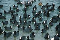 Blässralle, Blässhuhn, größerer Trupp im Winter auf eisfreier Wasserfläche, Zappe, Fulica atra, coot, Bläß-Ralle, Bläßralle, Bläss-Ralle, Blessralle, Bleß-Ralle, Bleßralle, Bless-Ralle, Ralle, Bläß-Huhn, Bläßhuhn, Bläss-Huhn, Blesshuhn, Bleß-Huhn, Bleßhuhn, Bless-Huhn,