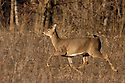 00275-198.18 White-tailed Deer (DIGITAL) doe is bounding with tail raised in meadow during fall.  Run, action, hunting.  H6L1