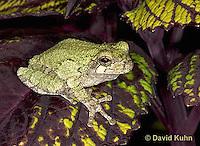 "0916-07qq  Gray Tree Frog - Hyla versicolor ""Virginia"" © David Kuhn/Dwight Kuhn Photography"