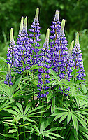 """Wild Lupine""<br />