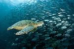 Green turtle (Chelonia mydas)  with schooling jacks (Cranax sexfasciatus). Sipadan underwater, Sabah, Malaysia. 22 June 2009