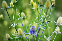 Close up of Jade Frost Sea Holly (Erynghan) blossoms. Oregon