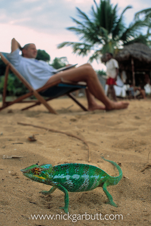 Male Panther Chameleon (Furcifer pardalis) on a beach besides tourists. Nosy Komba, Madagascar
