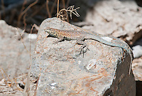 Male side-blotched lizard, Uta stansburiana, in Wildrose Canyon, Death Valley National Park, California