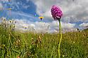 Pyramidal Orchid (Anacamptis pyramidalis) in lowland calcareous grassland habitat. Peak District National Park, Derbyshire, UK. June.