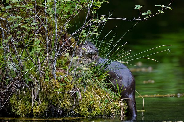North American river otter (Lontra canadensis) on moss covered tree snag in old beaver pond, Pacific N.W., spring.