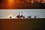 Two geese and their brood of goslings walk on land as the sunset reflects off the water.