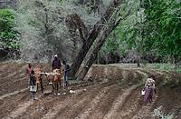 ZAMBIA, Sinazongwe, Tonga tribe, conservation farming with ox / Kleinbauern bestellen ihre Felder mit Ochsen