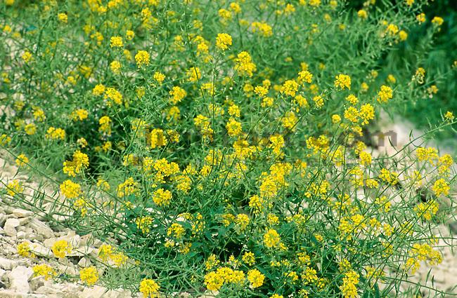 Sinapis alba, Weißer Senf , White Mustard, Pafos, Paphos Province near Panagia, Springs-Scenic, Cyprus, Zypern.