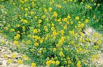 Brassicaceae - Kreuzblütengewächse