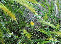 """Stunning texture created by wild-grass and a tiny yellow daisy in the center fine art stock image.<br /> <br /> This image is also available in monochrome. View the gallery-""""Black & White Fine Art Images""""."""