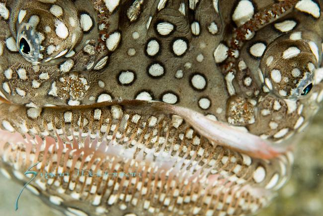 Stargazer-mask face , Southern Star gazer, Astroscopus y- graecum, Blue Heron Bridge; Lake Worth Inlet; Florida; USA; Amazing Underwater Photography; Marine behavior