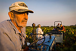 Amador County wine grape harvest