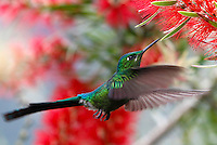 MANIZALES -COLOMBIA, 19-10-2016. Se calcula que en Manizales hay unas 150 especies de colibríes, tanto residentes como migratorias. Por este motivo, la capital caldense se ha convertido en lugar de visita de los amantes del avistamiento de aves .En la foto Silfo Coliverde, en Termales el Otoño. Photo:VizzorImage / Santiago Osorio  / Contribuidor