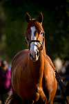 ARCADIA, CA - APRIL 21: Justify cools out after his workout at Santa Anita Park on April 21, 2018 in Arcadia, California. (Photo by Alex Evers/Eclipse Sportswire/Getty Images)