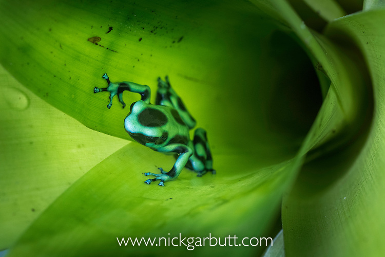 Green-and-Black Poison Dart Frog (Dendrobates aurantus) inside bromiliad. Boca Tapada, Caribbean slope, Costa Rica, Central America.