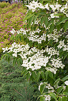 Cornus kousa, Korean dogwood in bloom in spring with Spiraea