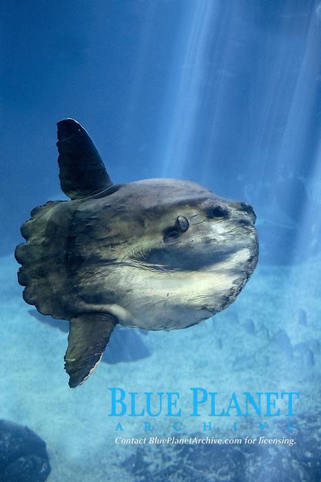 ocean sunfish, mola mola, adult (c)