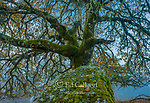 Valley Oak, Quercus lobata, Yorkville Highlands, Mendocino County, California