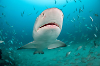 lemon shark, Negaprion brevirostris, Jupiter, Florida, USA, Atlantic Ocean